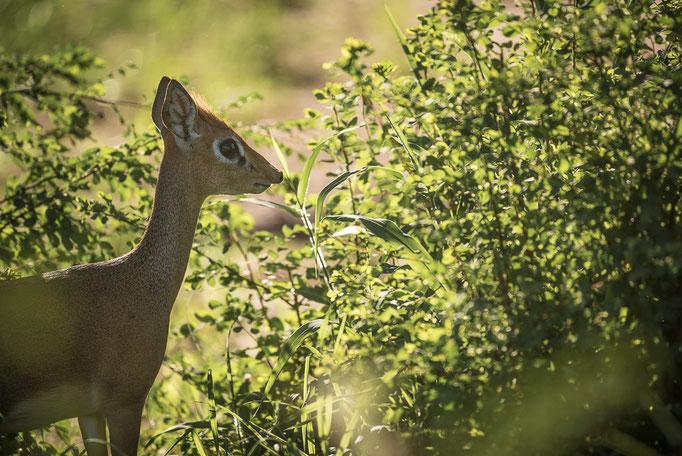 Dik-Dik, Antilope, Tarangire