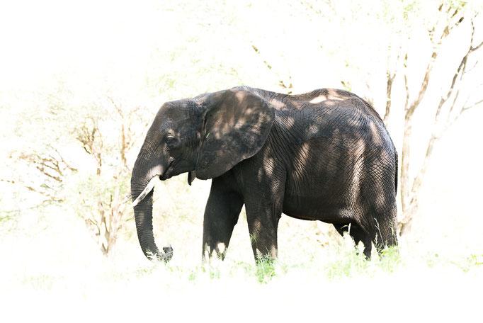 Elephant, Elefant, Tarangire