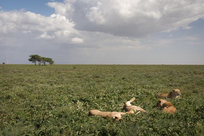 Lions, Ndutu, Ngorongoro Conservation Area, Löwen