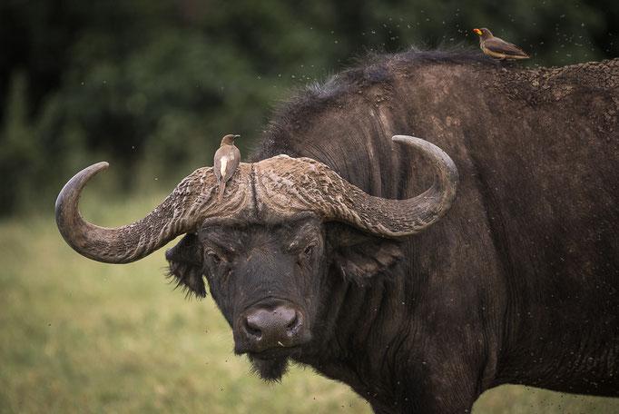 Buffalo, Büffel, Ngorongoro