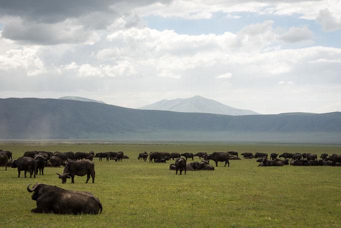 Buffalos, Ngorongoro Crater, Büffel, Ngorongoro Krater