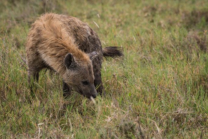 Hyena, Hyäne, Ngorongoro Crater