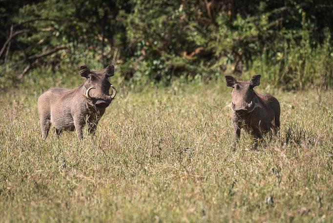 Warthogs, Warzenschweine, Ngornogoro