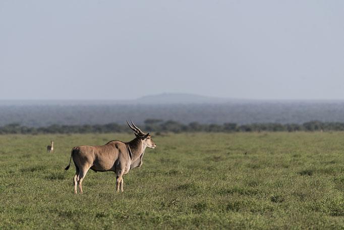 Giant Eland, Riesen-Elanantilope, Ndutu