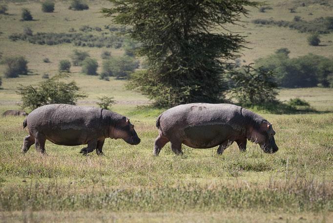 Hippos, Nilpferde, Ngornogoro