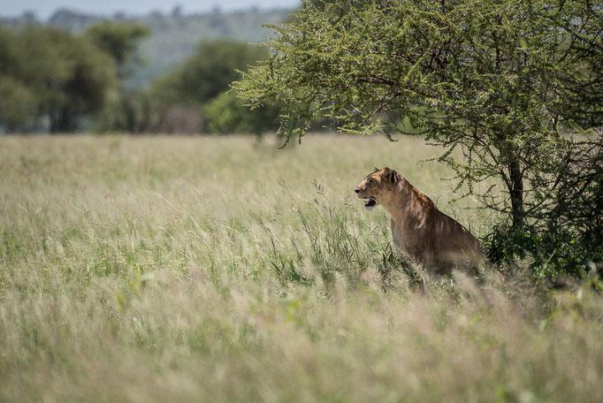 Lion, Löwe, Tarangire