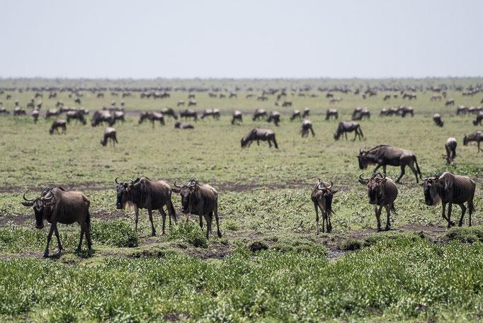 Wildbeest, dutu, Ngorongoro Conservation Area, Gnuherde, Ndutu