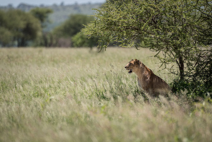 Lion, Tarangire National Park, Löwe, Tarangire
