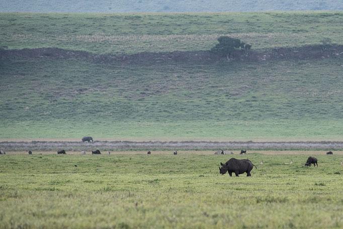 Black Rhino, Spitzmaulnashorn, Ngorongoro