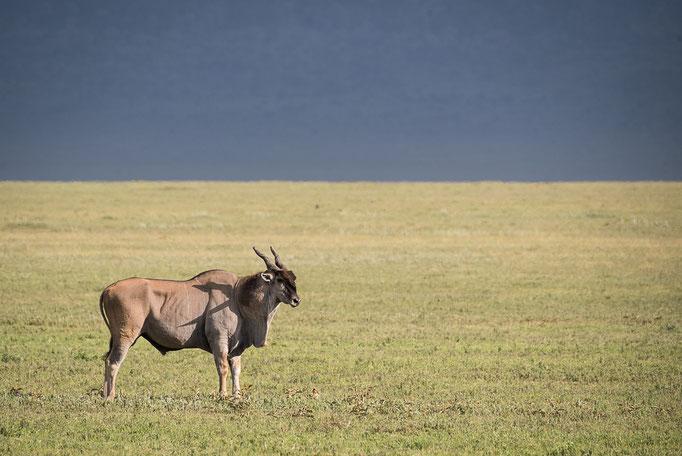 Giant Eland, Riesen-Elanantilope, Ngorongoro