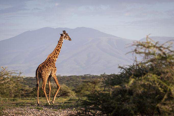 Giraffe,  Ndutu, Ngorongoro Conservation Area