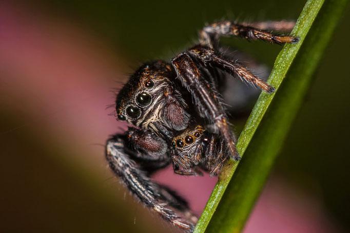 scène de prédation entre un mâle adulte et un juvénile Evarcha arcuata
