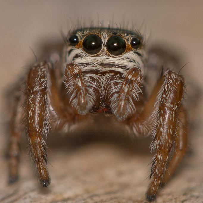 Evarcha arcuata (femelle)