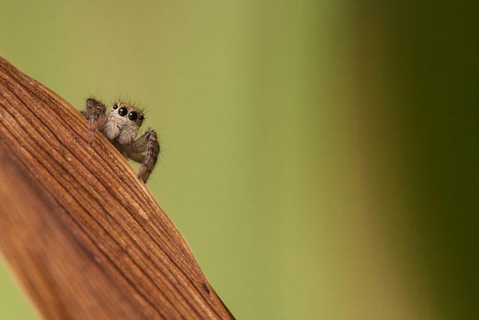 Dendryphantes rudis