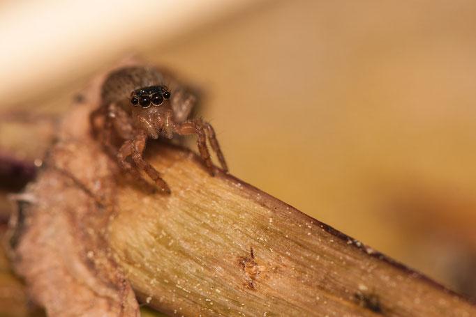 Saitis Barbipes (femelle)