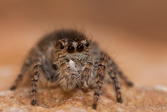 Philaeus chrysops femelle