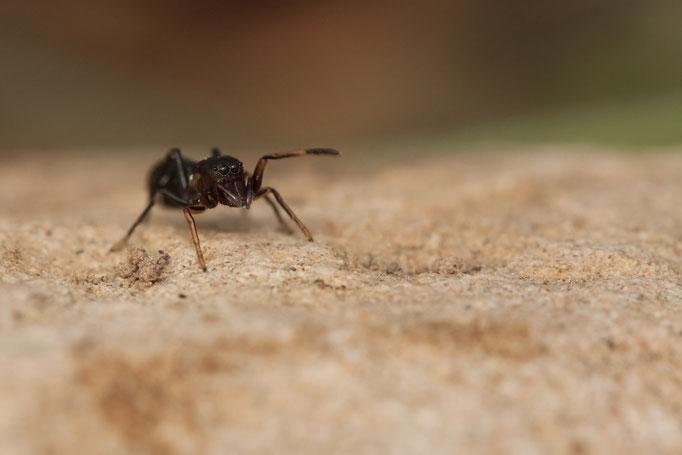 Leptorchestes sp - salticidae présentant un fort mimétisme avec la fourmi