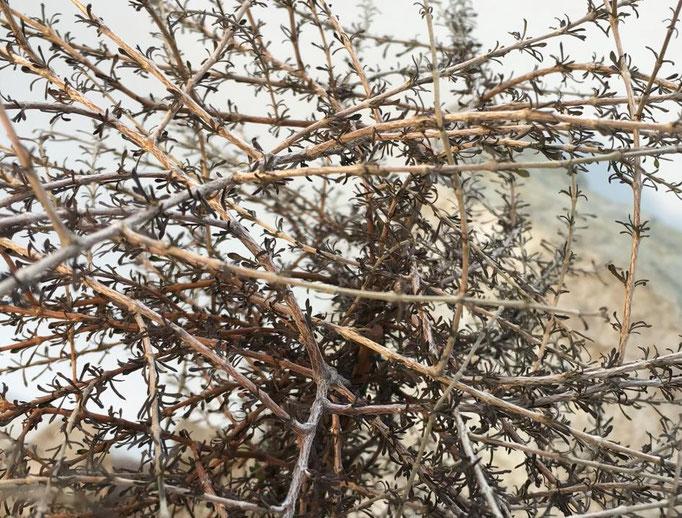 Der buschige Wuchs
