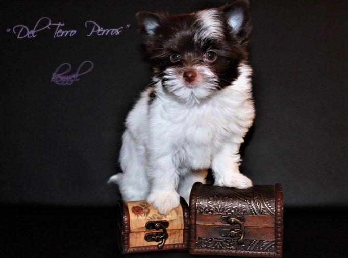 Del Terro Perros Miss Mini MiMi