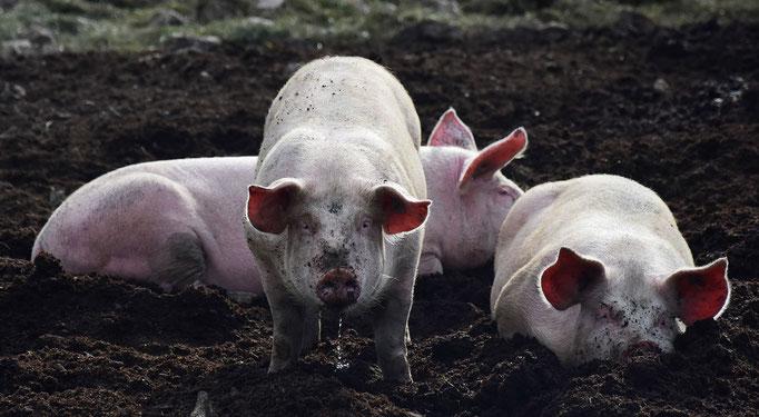 schweine, pig, flowfly.photo