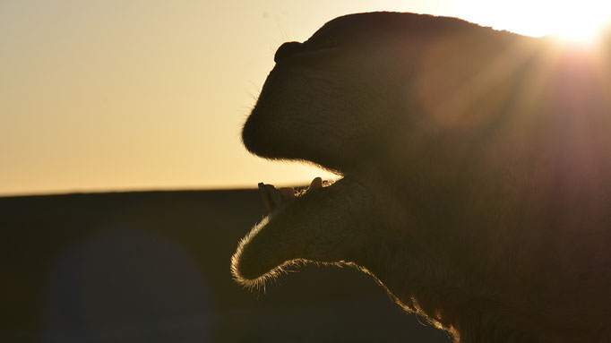 Kamel, Morgenlicht, Sahara, Marokko, flowfly.photo