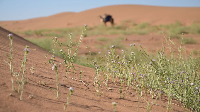 Blumen, Sahara, Sand, Kamel, flowfly.photo