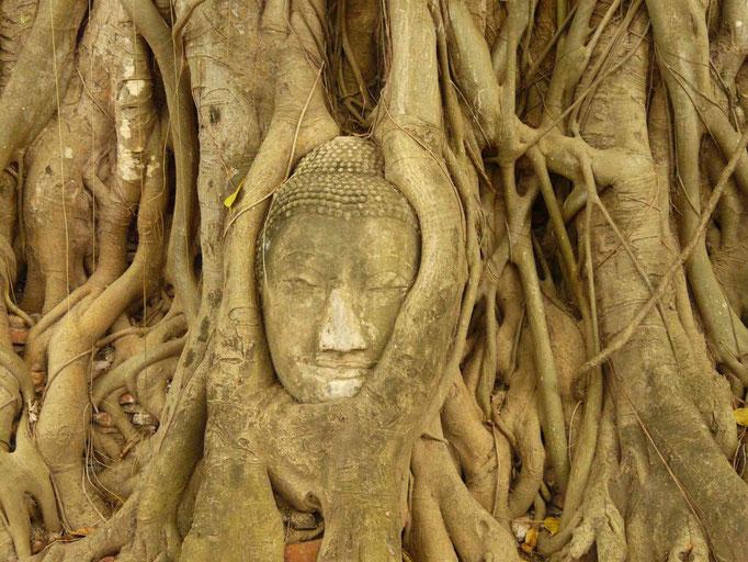 Root Buddha, Ayuttaya