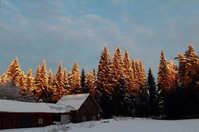 goldene Morgensonne auf den Tannenspitzen