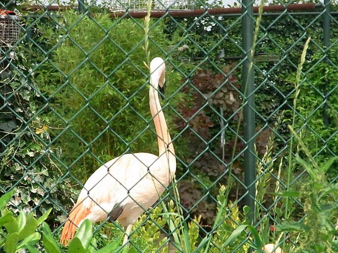 Flamingo im Gehege
