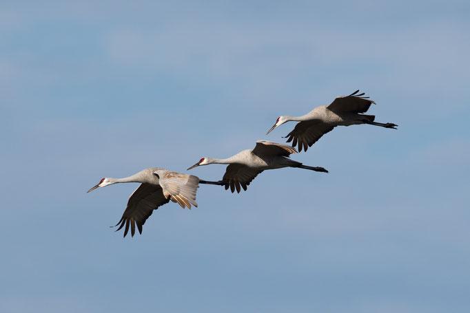 Circle B Bar Reserve / Sandhill Cranes