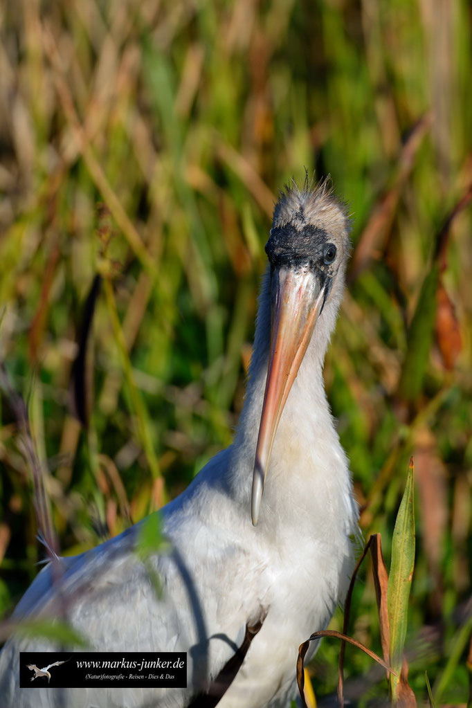 Wood Stork; Waldstorch; Mycteria americana