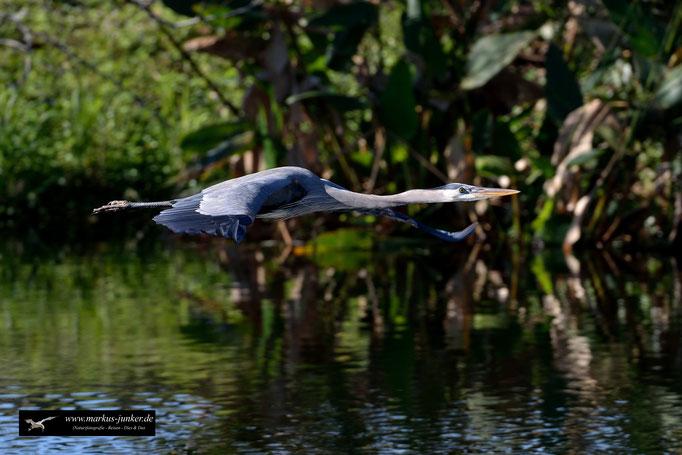 Great Blue Heron; Kanadareiher; Ardea herodias