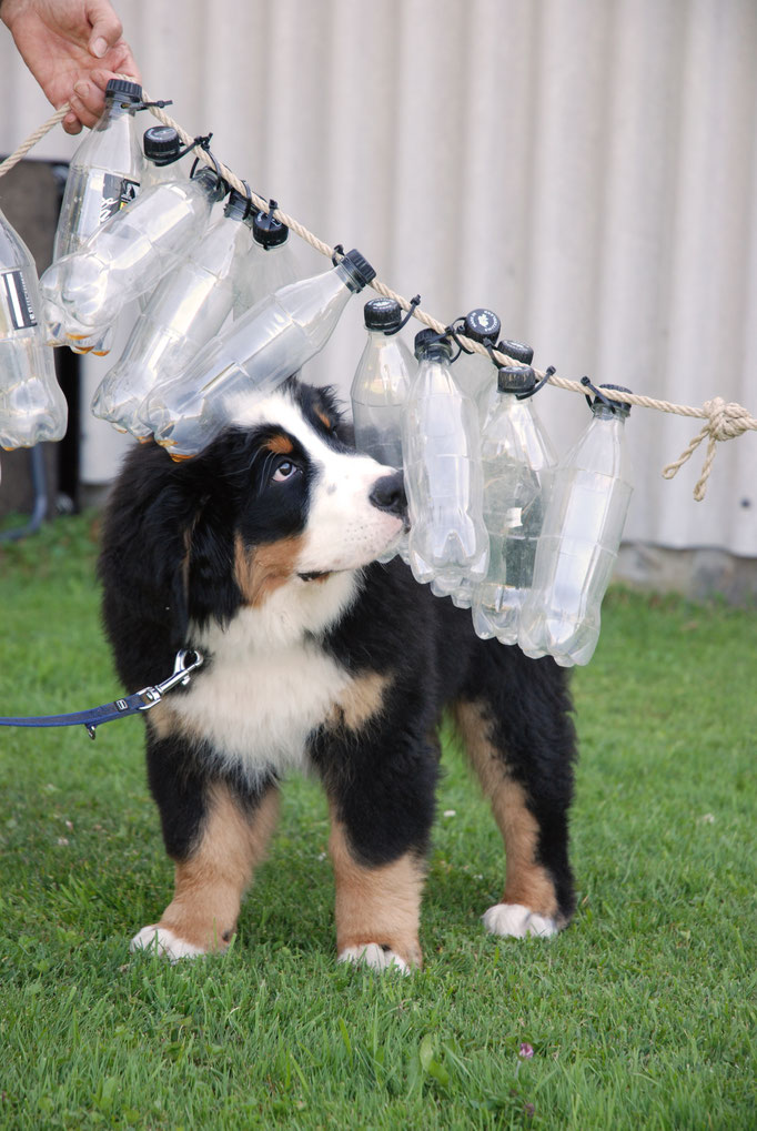 Berner Sennenhund Welpenschule © Hundeschule gooddog