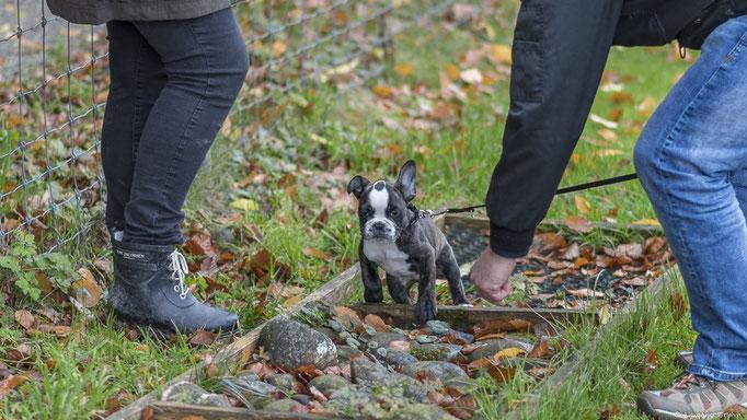 Französische Bulldogge in der Welpenschule © Hundeschule gooddog