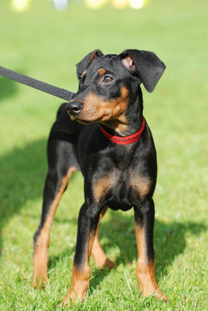 Deutscher Pinscher in der Welpenschule © Hundeschule gooddog