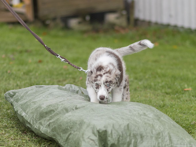 Australian Shepherd in der Welpenförderung © Hundeschule gooddog