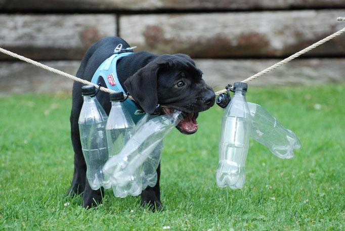 Antikdogge in der Welpenschule © Hundeschule gooddog