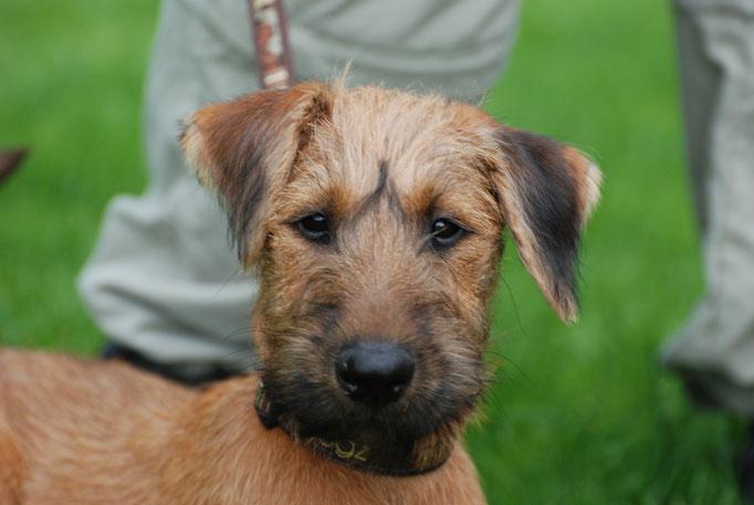 Irish Terrier in der Welpenschule © Hundeschule gooddog