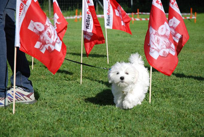Malteser in der Welpenschule © Hundeschule gooddog