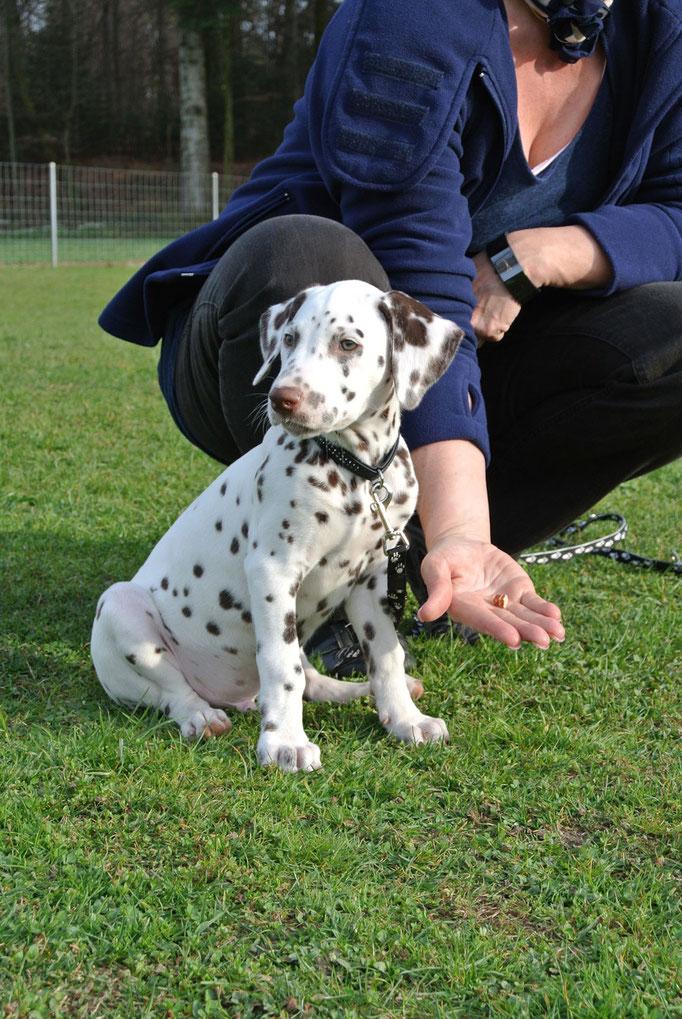 Dalmatiner @ Welpenschule © Hundeschule gooddog