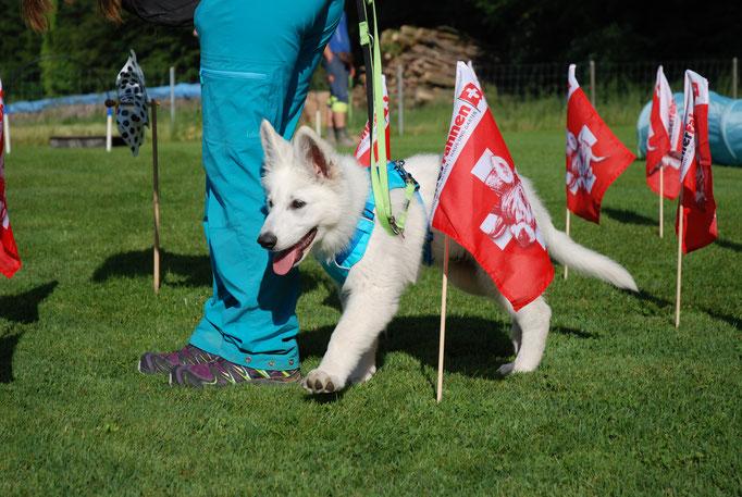 Berger Blanc Suisse, Weisser Schäferhund Welpenschule © Hundeschule gooddog