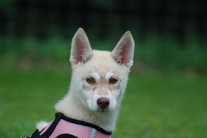 Husky Welpenschule © Hundeschule gooddog