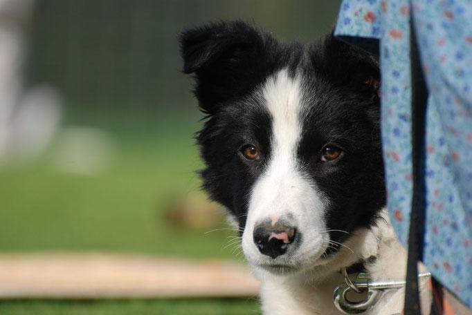 Border Collie in der Welpenförderung © Hundeschule gooddog