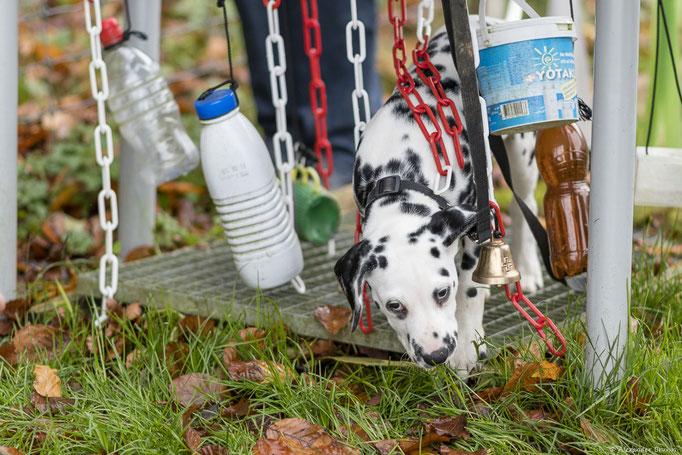 Dalmatiner in der Welpenschule © Hundeschule gooddog