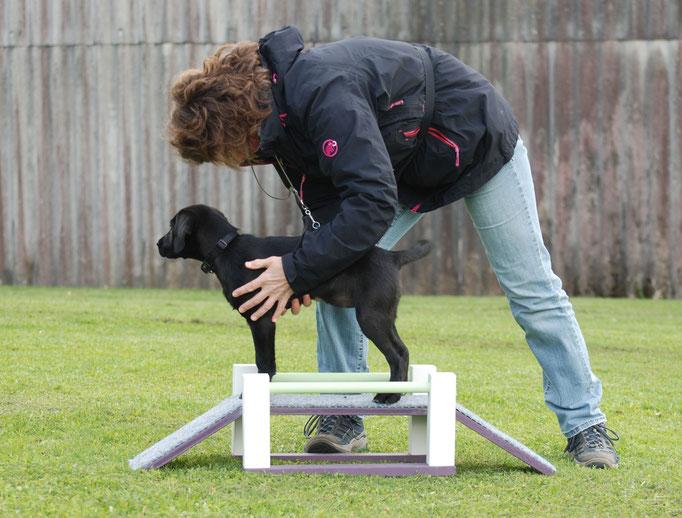 Labrador Retriever in der Welpenförderung © Hundeschule gooddog