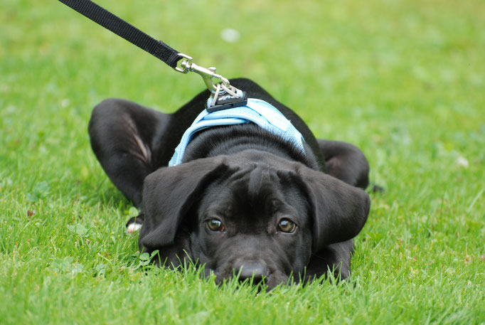 Antikdogge Nunzio Welpenschule © Hundeschule gooddog