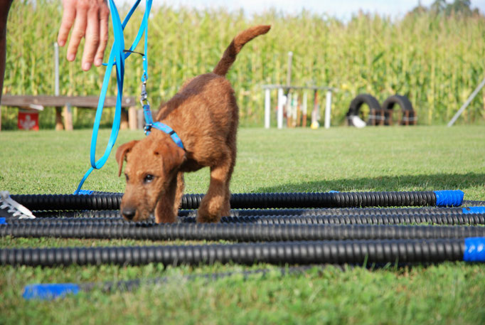 Welpenschule © Hundeschule gooddog Samojede