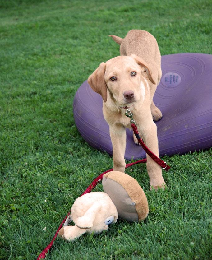 Labrador Welpenschule © Hundeschule gooddog