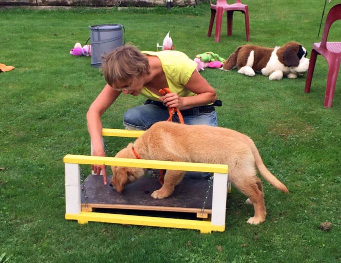 Golden Retriever in der Welpenschule © Hundeschule gooddog