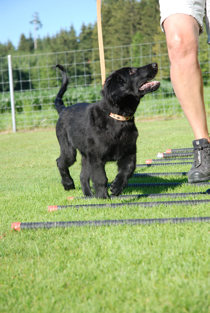 Flat Coated Retriever Welpenschule © Hundeschule gooddog